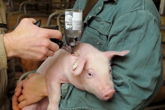 medicamentos en cerdos