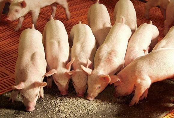 proteína-ideal-en-cerdos