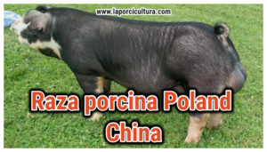 Raza Poland China