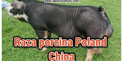 Raza Poland China