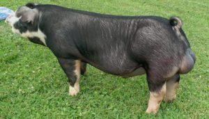 Raza de cerdo Poland china