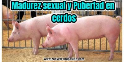 Madurez sexual y Pubertad en cerdos