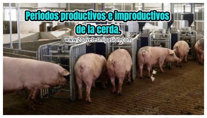 Periodos productivos e improductivos de la cerda
