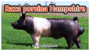 Raza porcina Hampshire