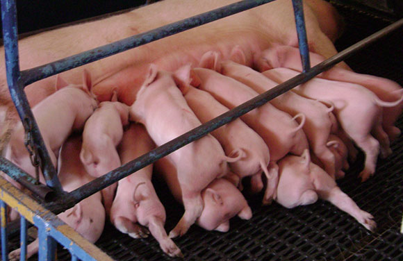 como mejorar la reproducción del cerdo