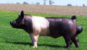 raza de cerdos Hampshire