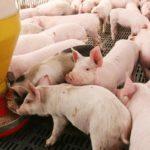 Alimentación-del-cerdo