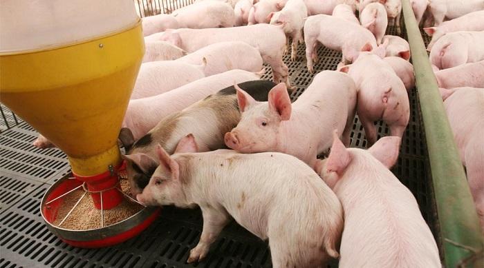 Alimentación del cerdo - La Porcicultura.com