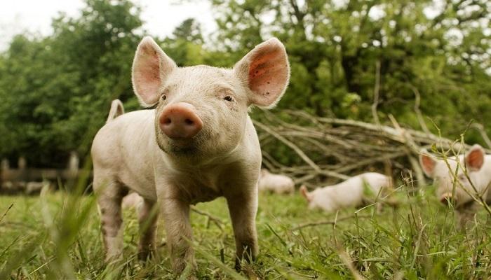 Aujeszky en cerdos