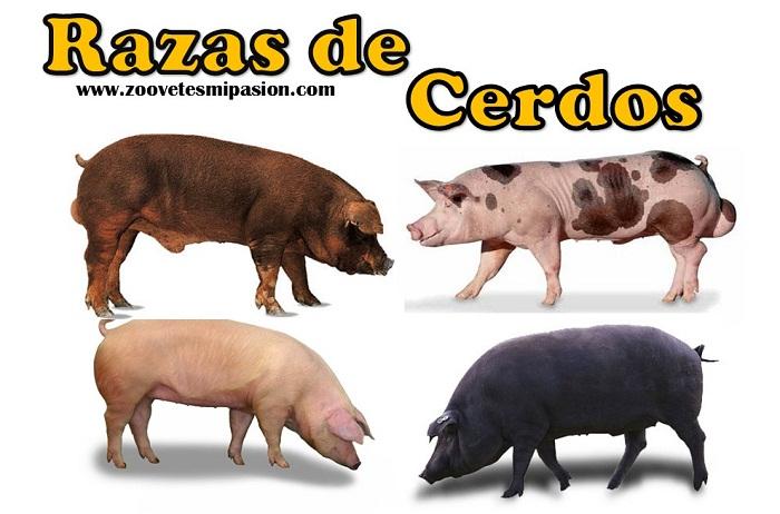 🐷 Razas porcinas, Conoce las razas de cerdos tipo carne y razas ...