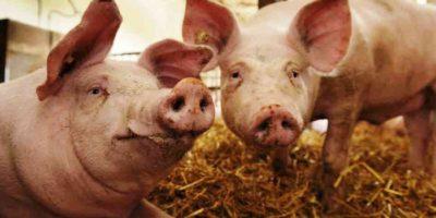 Dermatosis vegetativa en cerdos