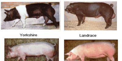Selección de reproductores y sistemas de cruces en ganado porcino