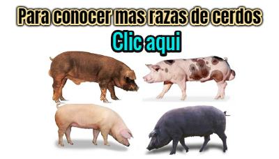mas razas de cerdos