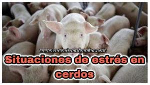 situaciones de estrés en cerdos