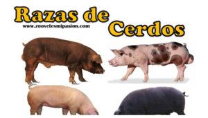 Razas de cerdo