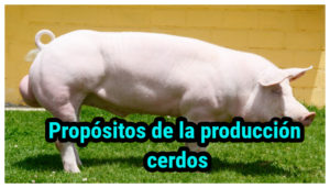 Propósitos de la producción cerdos