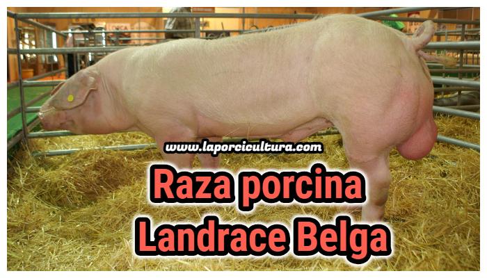Raza porcina landrace belga
